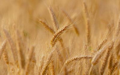El trigo y sus beneficios para la salud